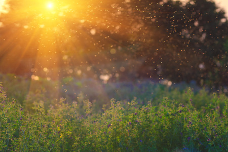 Summer Nature. Landscape meadow at sunset. A flock of mosquitoes. Blurred background.