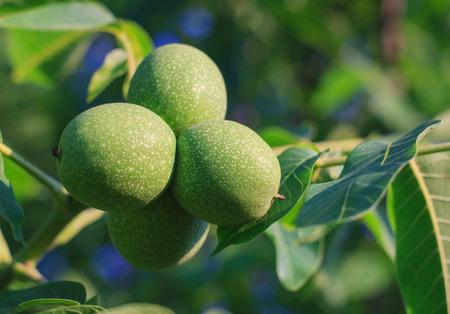 venation: Green young walnut fruits Juglans regia L., Persian walnut, English walnut. Stock Photo