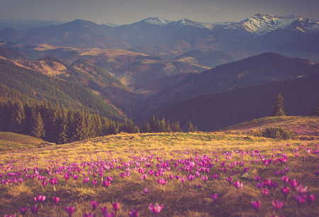 descends: First spring flowers crocus as soon as snow descends on the background of mountains. Stock Photo