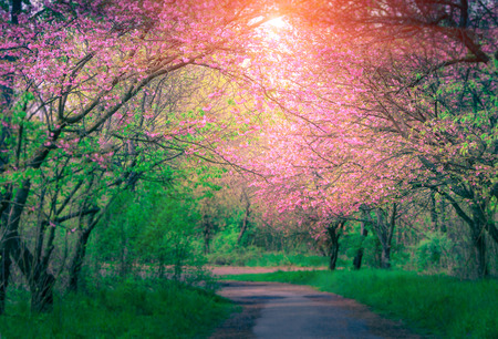 Majestically blossoming sakura trees. Soft focus background. Filtered image: cross processed colorful effect. Stock Photo