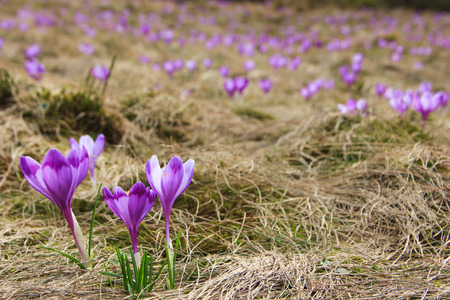 View of close-up blooming violet crocuses among moss and dry foliage. Beautiful first spring flowers. Natural background. Stock fotó