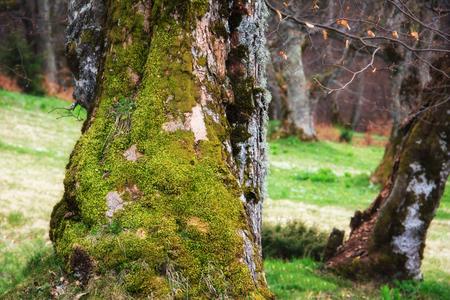 Vista del árbol grande misterioso con el musgo verde en un verde oscuro. Concepto de calma y naturaleza salvaje. Paisaje forestal. Fondo de la naturaleza Foto de archivo - 94478301