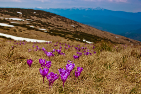 Beautiful first spring flowers. View of close-up blooming violet crocuses in the mountains. Natural background.