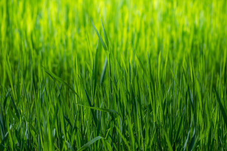 Spring wallpaper. View of close-up green grass at sunlight. Background with copy space. Ecology and nature concept. Selective focus. Stock fotó
