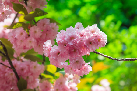 Close-up of Cherry Blossom or Sakura flower in springtime. Beautiful Pink Flowers. Selective focus and blurred background.