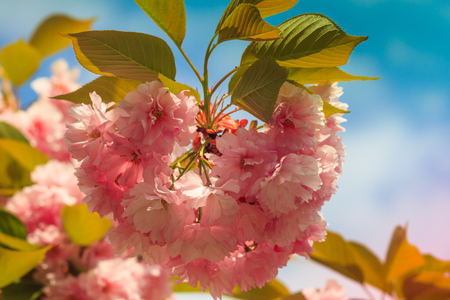 Close-up of Cherry Blossom or Sakura flower in springtime. Beautiful Pink Flowers. Selective focus and blurred background. Foto de archivo - 100671160