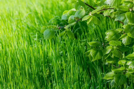 Spring wallpaper.View of close-up green grass and fresh leaves on a branch at sunlight. Background with copy space. Ecology and nature concept. Selective focus.