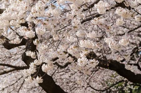 Japanische Kirschblüten in voller Blüte Standard-Bild - 17073606