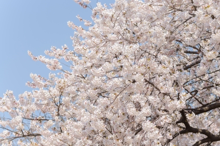 Japanese cherry blossoms in full bloom