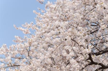 Japanische Kirschblüten in voller Blüte Standard-Bild - 17073605