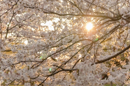 Sunset and Japanese cherry blossoms in full bloom Stock Photo