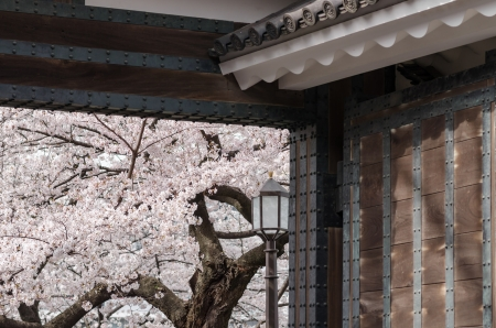 Japanese gate and cherry blossoms in full bloom