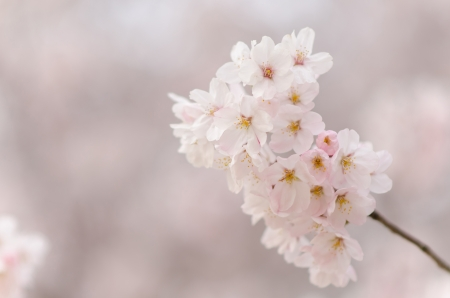 Japanese cherry blossoms in full bloom photo