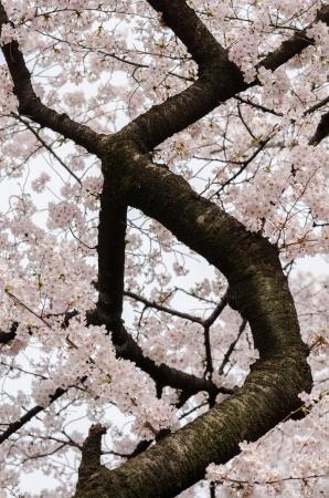 Japanische Kirschblüten in voller Blüte Standard-Bild - 17073599