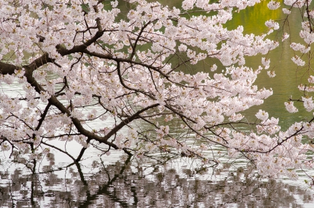 Cherry blossoms in full bloom and pond of Japanese garden Stok Fotoğraf