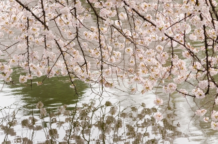 cherry blossom: Cherry blossoms in full bloom and pond of Japanese garden Stock Photo