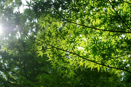 Green maple leaves shot in summer. Stock Photo