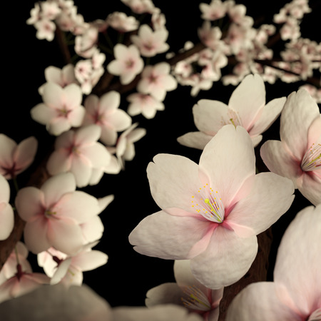 Computer generated imagery of cherry blossom or sakura flower isolated on the black background.  The subject is back lit to show its beautiful pinkish translucency.  This is situated in a studio shot or a light up in the night scene.