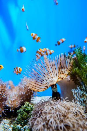 oceanarium: Clownfish around coral in fantasy underwater in oceanarium Stock Photo