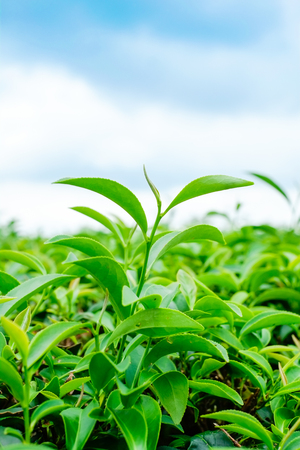 Asia culture concept image - Green and fresh organic tea bud tree & leaves plantation, the famous Oolong tea area in high mountain with blue sky morning, Taiwan