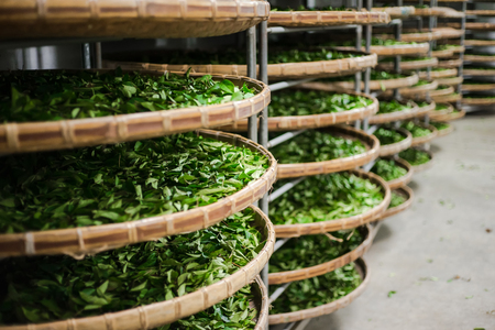 Asia culture concept image - view of fresh organic tea bud & leaves on bamboo basket in Taiwan, the process of tea making Redactioneel