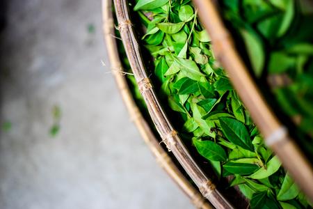 アジア文化概念イメージ - 台湾、紅茶メーカーのプロセスで竹かごに新鮮な有機茶芽・葉のトップ目を表示 写真素材
