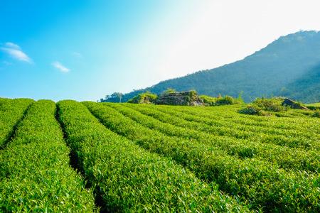 新鮮なオーガニックティーバッド & リーフプランテーション、青空と太陽のある阿里山山の名物のウーロン茶エリア、台湾 写真素材