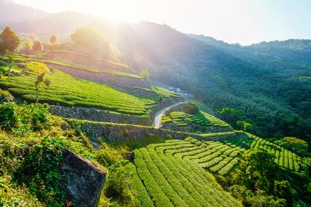 fresh organic tea bud & leaves plantation, the famous Oolong tea area in Alishan mountain with blue sky and sun, Taiwan
