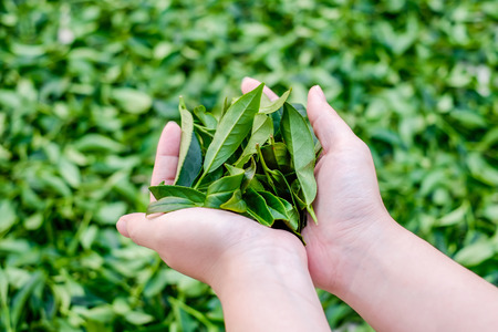 Asia culture concept image - A girl hold fresh organic tea bud & leaves in hand in plantation, the famous Oolong tea area in Alishan mountain, Taiwan Stockfoto