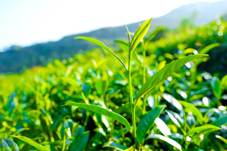 Asia culture concept image - Fresh organic tea bud & leaves plantation, the famous Oolong tea area in Alishan mountain with blue sky, Taiwan