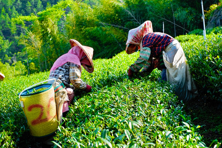Asia culture concept image - Farmers pick up fresh organic tea bud & leaves in plantation, the famous Oolong tea area in Ali mountain, Taiwan