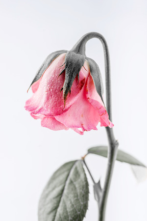 withered beautiful pink rose isolated on white background