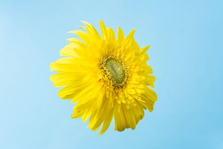 event design concept - top view of yellow sunflower fly in the air on blue background, copy space for mock up Фото со стока