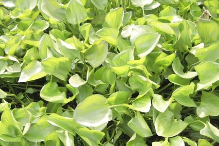 water hyacinth: Bush water hyacinth