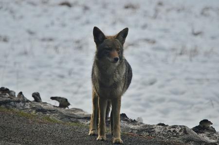coyote: Coyote at Yosemite