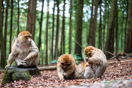 family of monkeys cute bond together hug play fun kid parents shildhood sacred forest Stock fotó