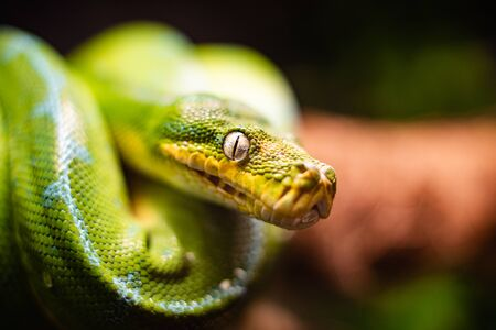 A close-up view of a green tree python slithering on a tree