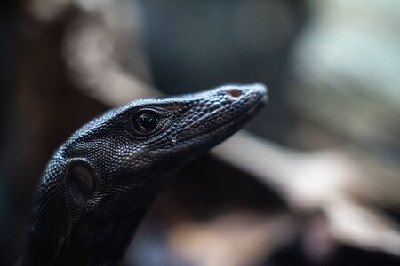 portrait of live monitor lizard varan 写真素材