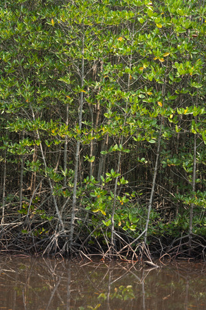 wetland conservation: mangrove forest Stock Photo