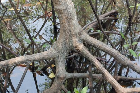 raíz de planta: raíces de mangle