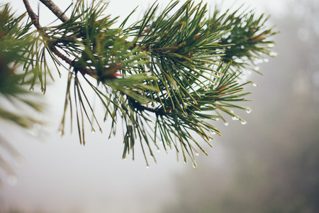 Raindrops on Pine Branch. Pine needles and water drops