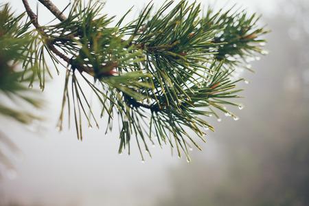 Raindrops on Pine Branch. Pine needles and water drops Standard-Bild