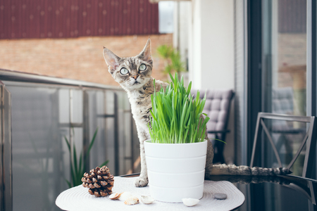 Devon Rex cat on the balcony with pot of green grass Standard-Bild