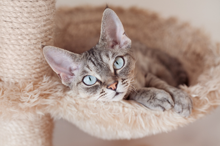 Adorable beautiful Devon Rex cat is chilling on the scratching post. Cat is laying on the hammock. Cat is feeling comfortable and safe being at home. Home pets. Cat Supplies and Equipment Stock Photo