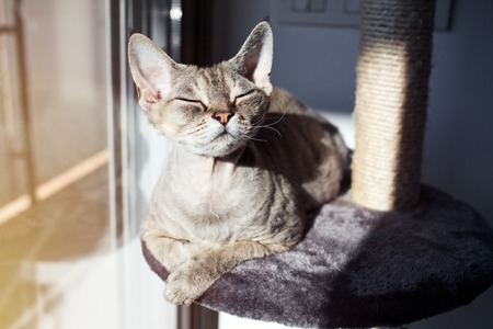 Cat loves to spending time sitting on scratching post with lounge space. Multi Platform Cat Scratcher. Cat enjoys having sun baths. Cat furniture - scratcher. Cat sits with closed eyes and relaxing Zdjęcie Seryjne