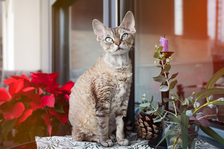 animal private: Beautiful Devon Rex cat is sitting on a nice balcony. Cat is enjoying to be on a terrace in fresh air. Winter and Christmas coming soon. Christmas decoration