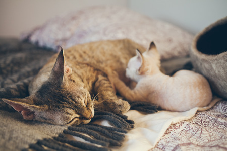 socialization: Devon Rex cat and kitten. Love and tenderness. Kitten is eating milk. Mom loves kitty cat and nurse it. Care, Feeding of Queens and Kittens. Normal development and growth of kittens. Stock Photo