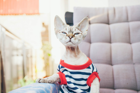 Close-up portrait of a funny Devon Rex cat with blue eyes, dressed in hipster style striped clothes and sitting on the arm chair on the balcony, smelling warm spring air,  looking directly at camera