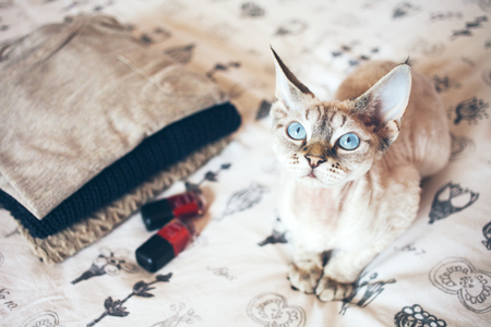 Little cute Devon Rex cat sits on the bed and wants your attention for hugs and play. Cat breeds, indoor pet. Zdjęcie Seryjne