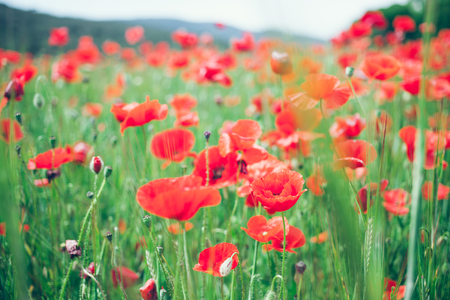 Poppy field. Field of blossoming poppies. Close up of moving poppies. Field in Farmland, Countryside, Rural, Rustic Summer Landscape, Background. Selective focus, mountains Zdjęcie Seryjne